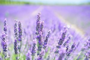 Lavendelblüten (Duft)